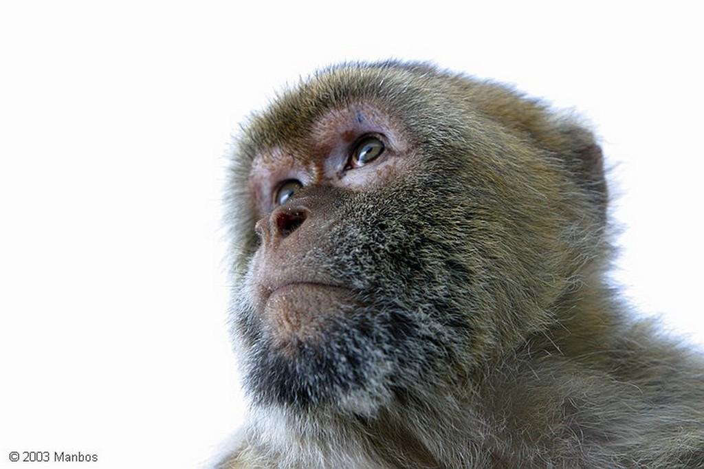 Gibraltar El mono sentado Gibraltar