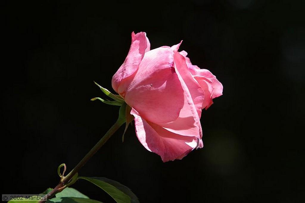 Pozuelo de Alarcón Rosa rosa Madrid