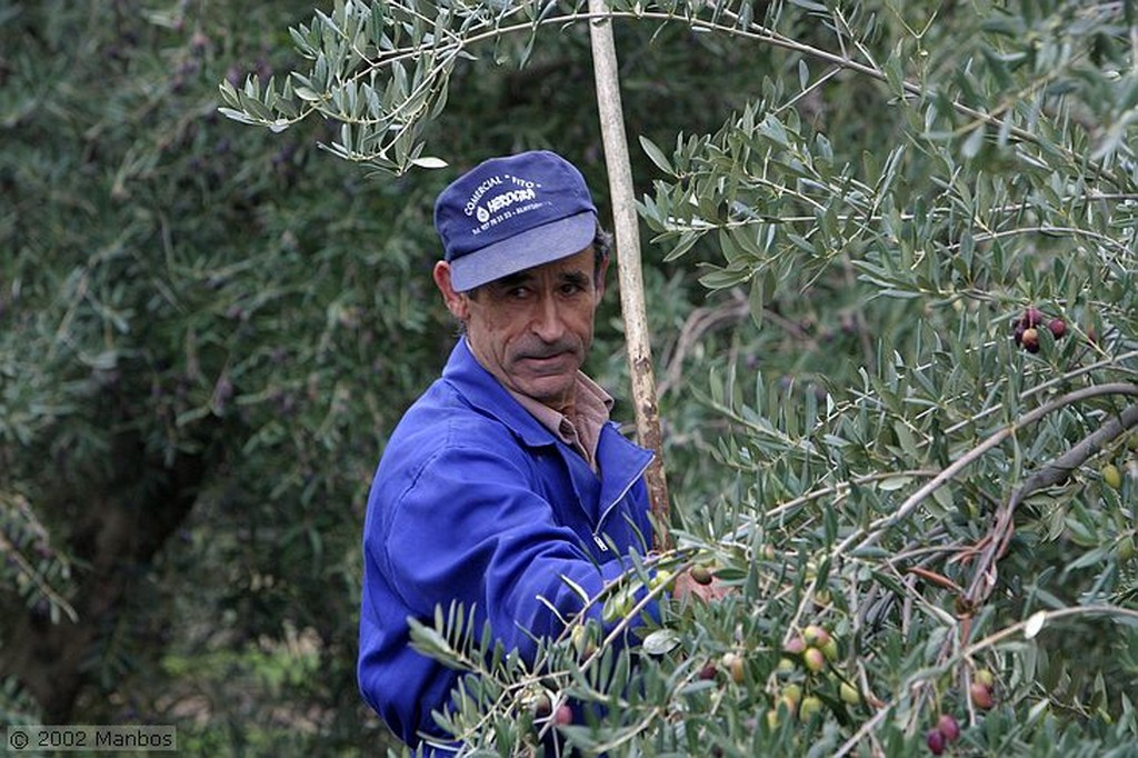Priego de Cordoba Recolección de la aceituna picuda Córdoba