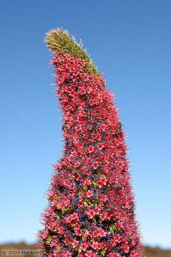 Tenerife Tajinastes en flor Canarias