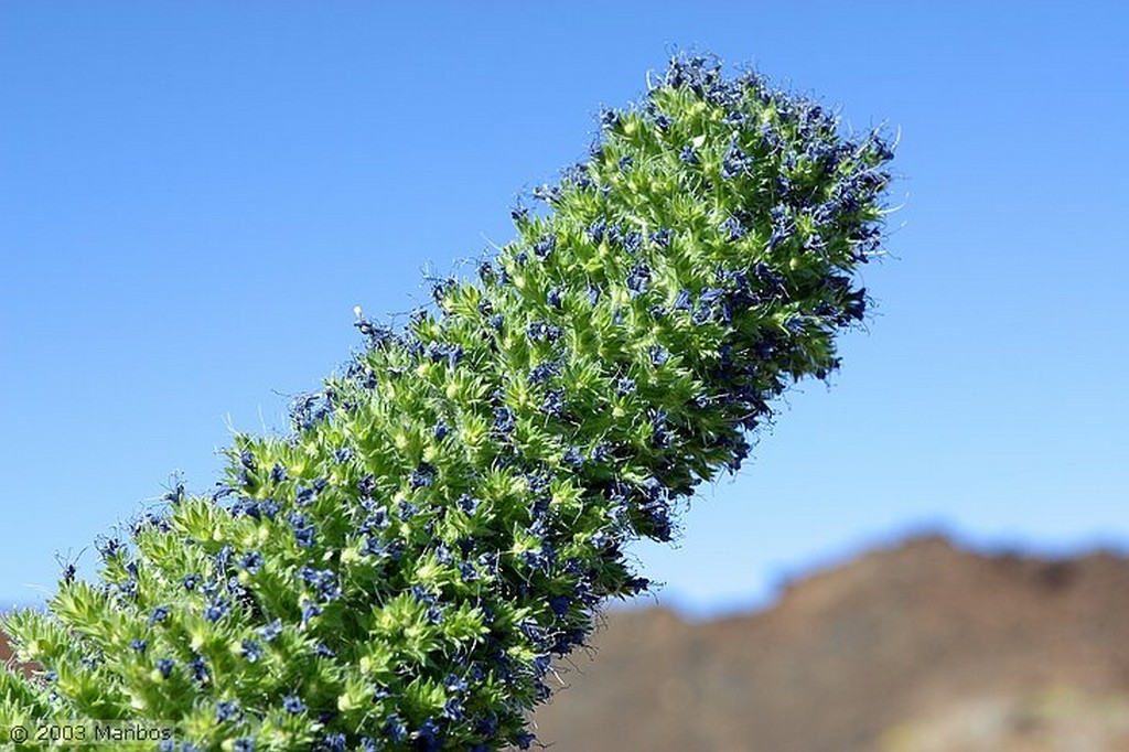Tenerife Tajinaste en flor Canarias