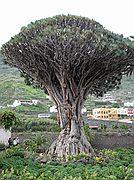 Icod de los Vinos, Tenerife, España