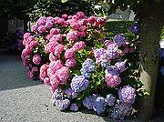 Foto de Bretaña, Francia - Hortensias