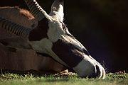 Camara Nikon F2 Oryx In Memoriam ZOO DE MADRID Foto: 1733