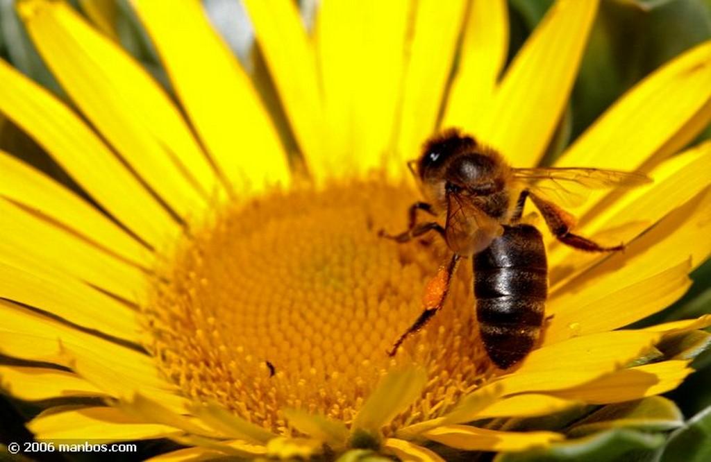Tenerife Asterisco con abeja Canarias