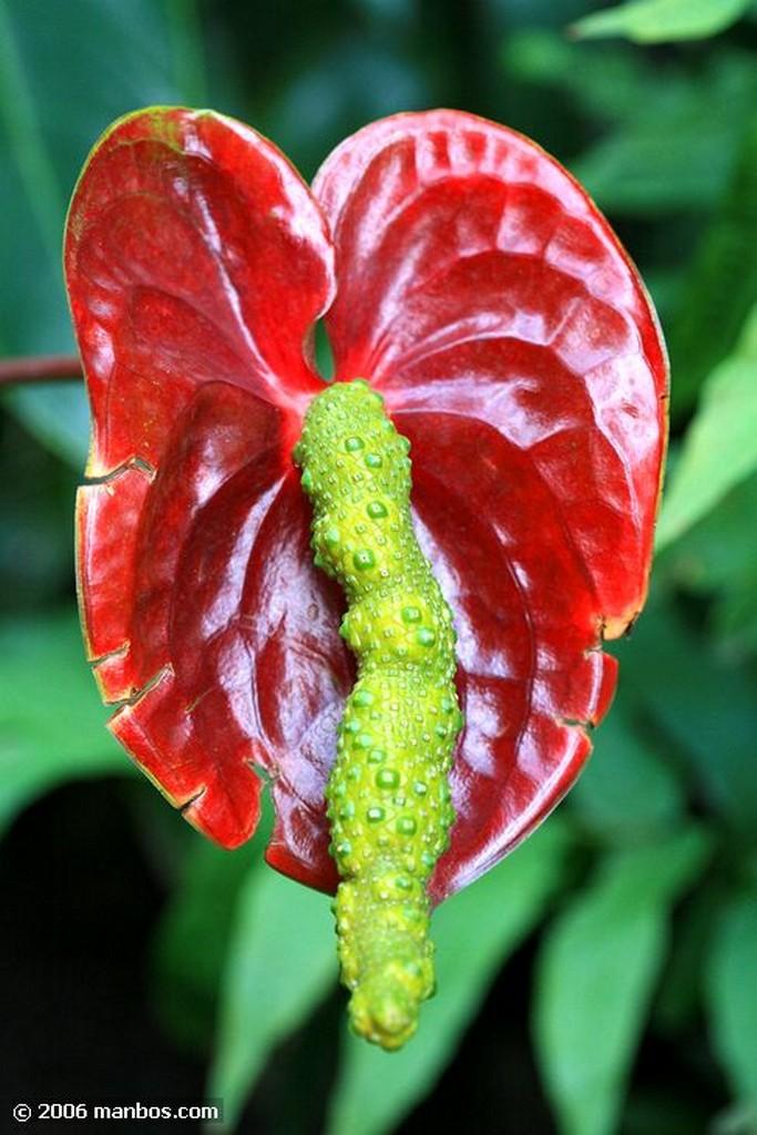 Tenerife Anthurium Andreanum Canarias