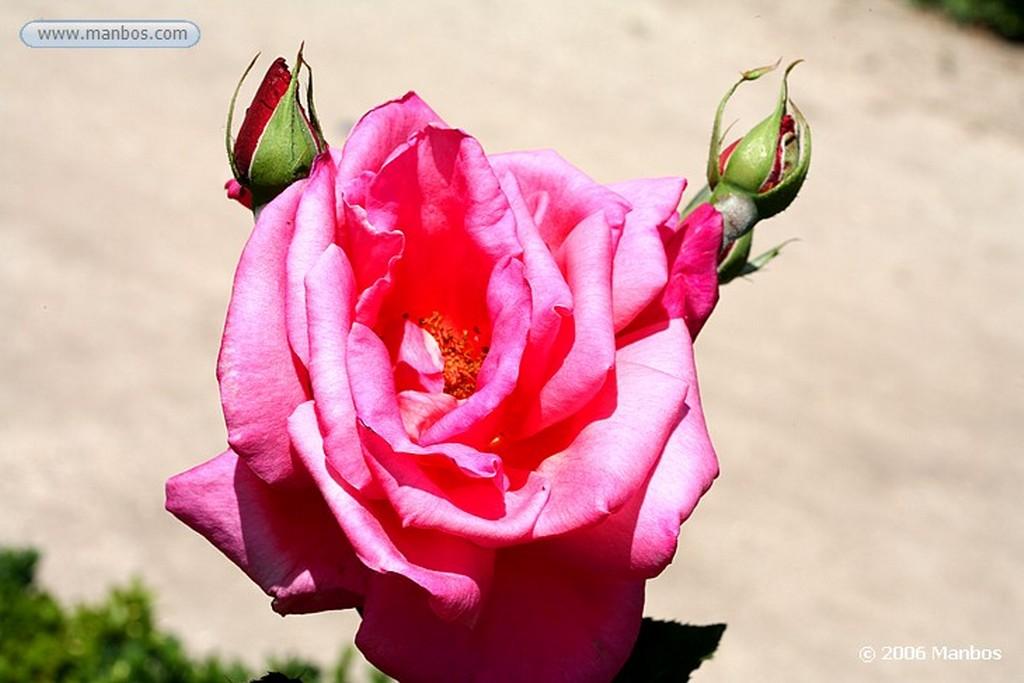 Madrid Rosa blanca Madrid