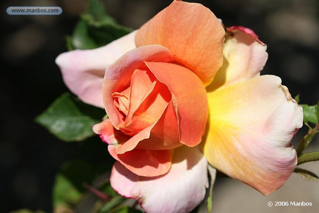 Madrid Rosa amarillo rosa Madrid