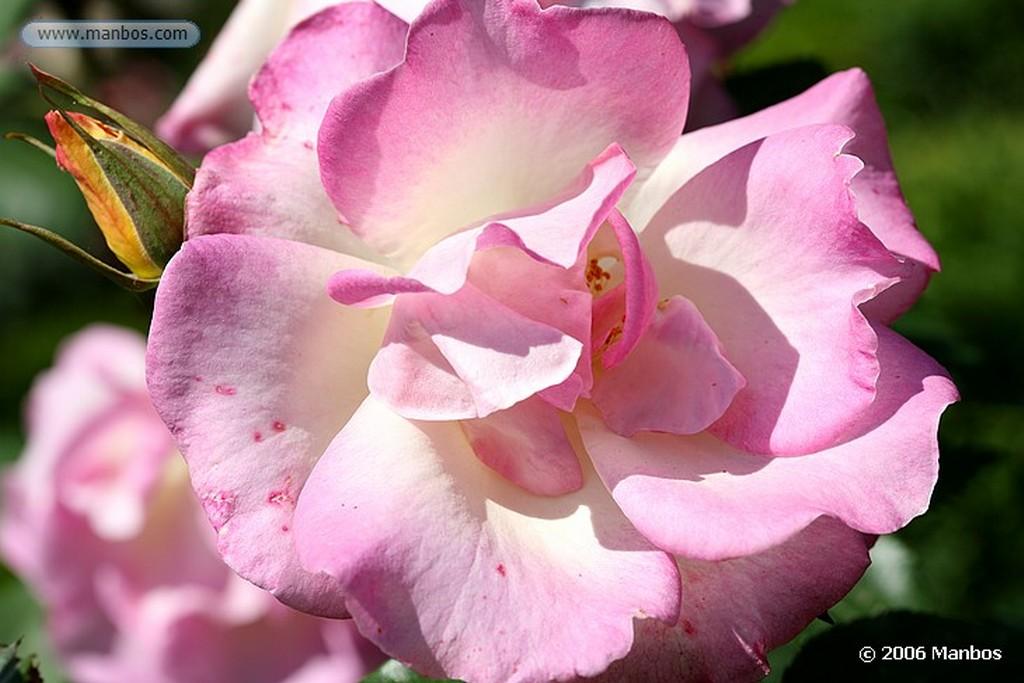 Madrid Rosa rosa Madrid