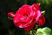 Foto de Madrid, La Rosaleda, España - Rosa roja