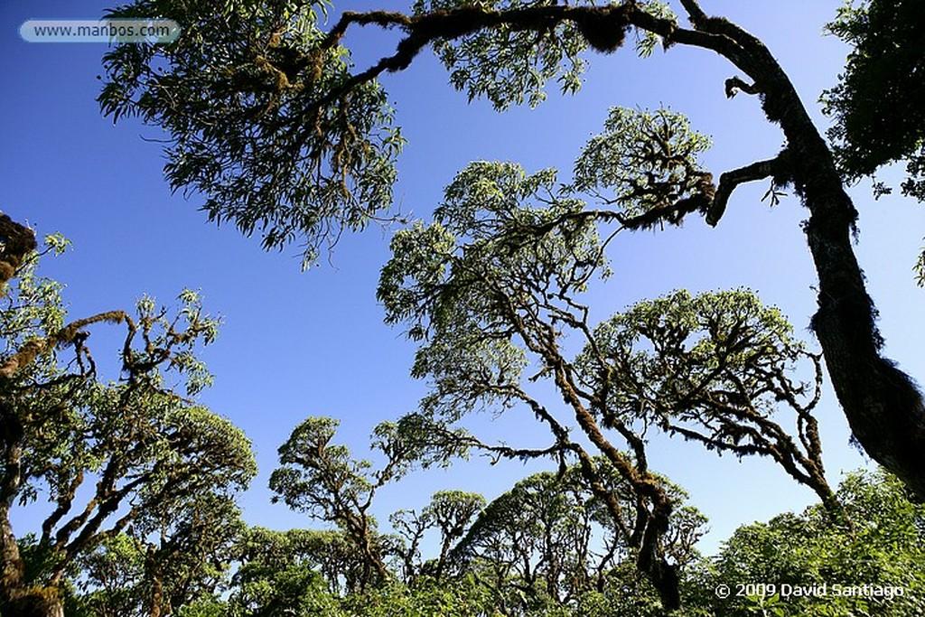 Islas Galapagos Pizon cantor Certhidea olivacea  Isla de Santa Cruz Galápagos Islas Galapagos