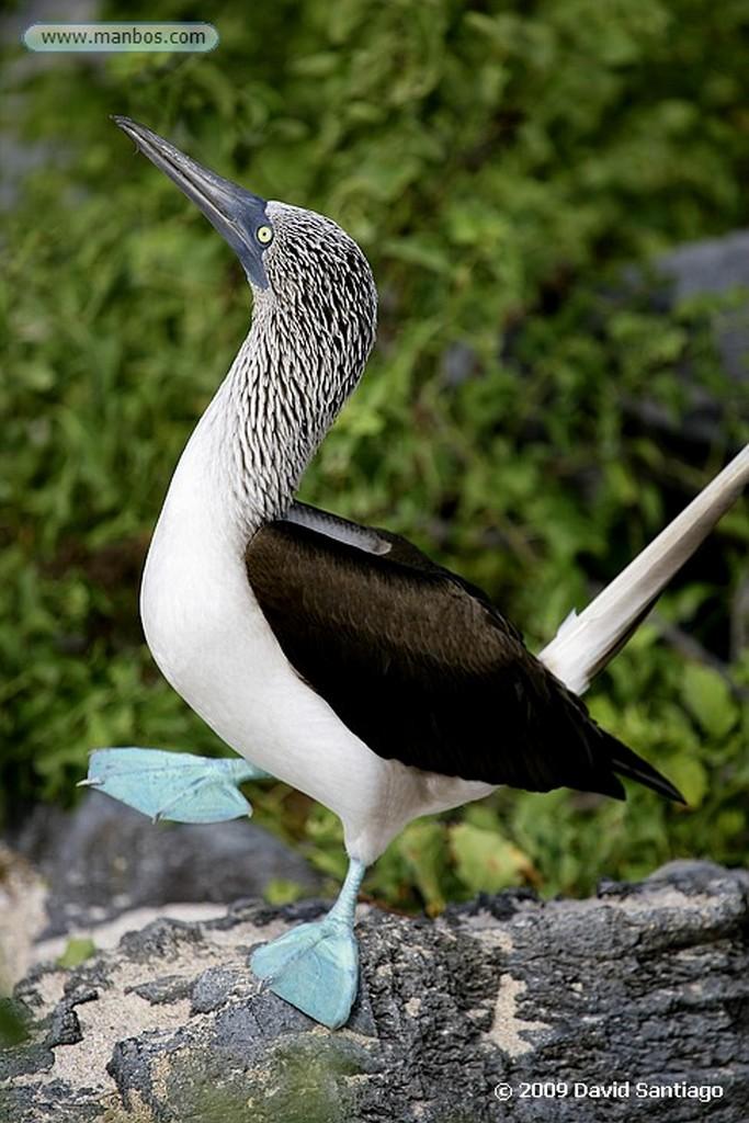 Islas Galapagos Iguana Conolophus pallidus Santa Fe Galapagos Islas Galapagos
