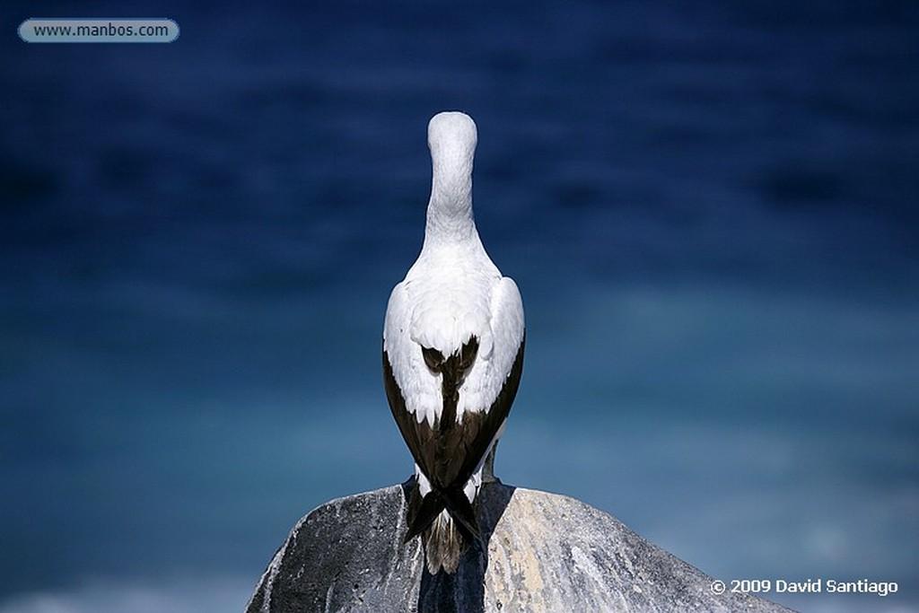 Islas Galapagos Piquero de patas azules Sula nebouxii Santa Fe Galapagos Islas Galapagos