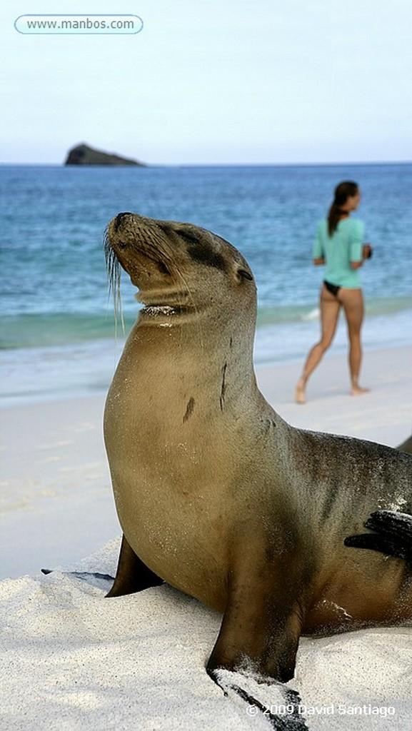 Islas Galapagos Lobo marino Zalophus californianus wollebacki Bahia Gardner Isla Española Galápagos Islas Galapagos