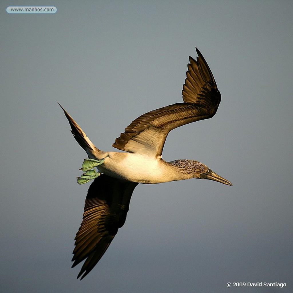 Islas Galapagos Pelicano Pelecanus occidentalis Isla Seymour Galápagos Islas Galapagos