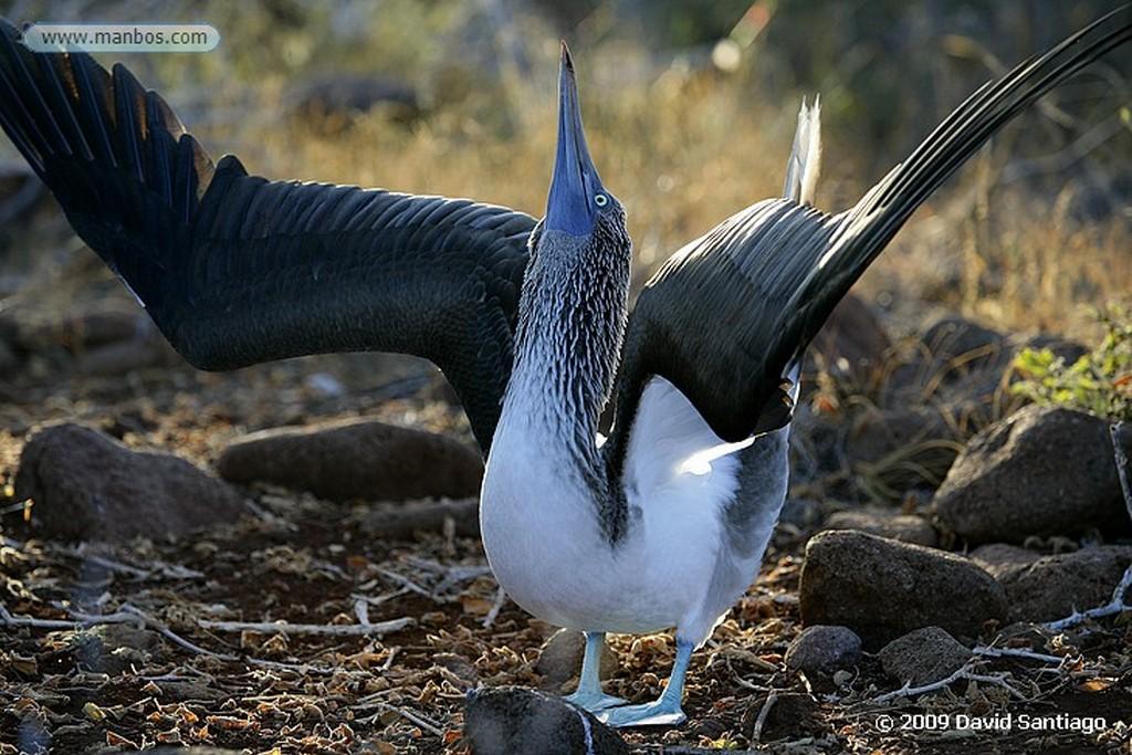 Islas Galapagos Piquero de patas azules Sula nebouxii Galápagos Islas Galapagos