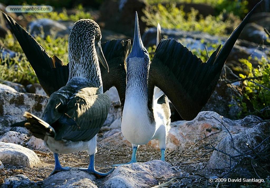Islas Galapagos Piquero de patas azules Sula nebouxii Seymour Galápagos Islas Galapagos