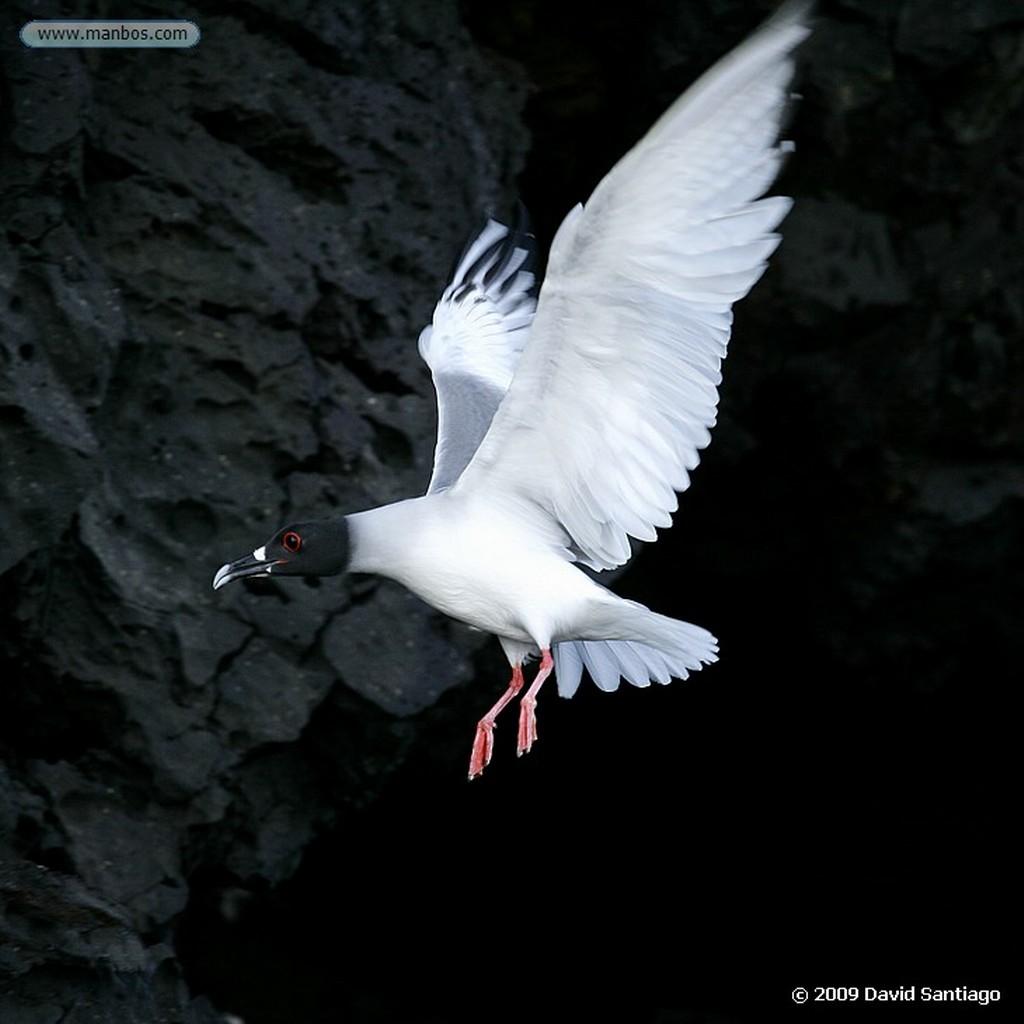 Islas Galapagos Larus forficatus Seymour Galápagos Islas Galapagos