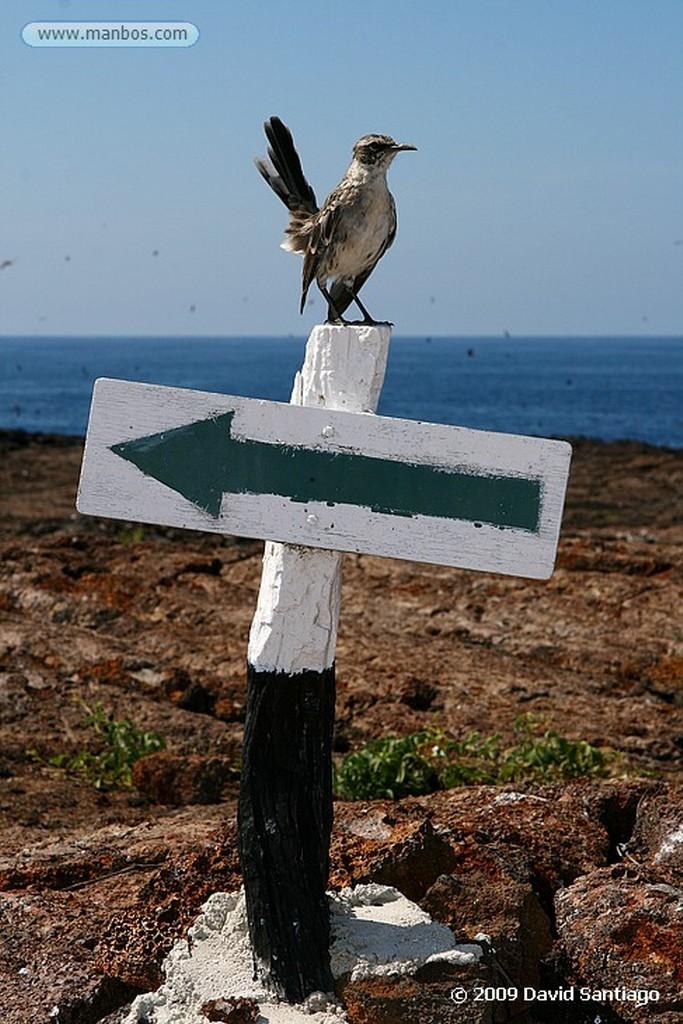 Islas Galapagos Piquero enmascarado Sula dactylatra granti Isla Genovesa Galápagos Islas Galapagos