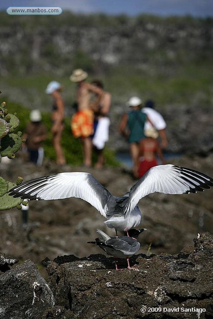 Islas Galapagos Fragata Fregata sp Genovesa Galápagos Islas Galapagos