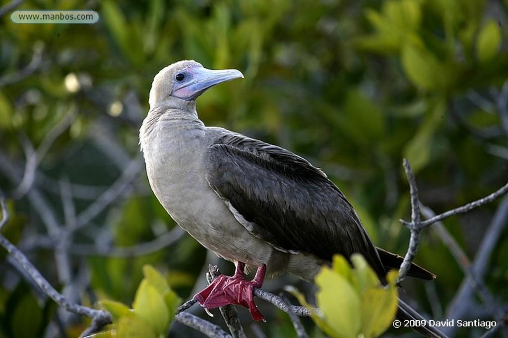 Islas Galapagos Fragata Fragata magnificens Isla Genovesa Galápagos Islas Galapagos