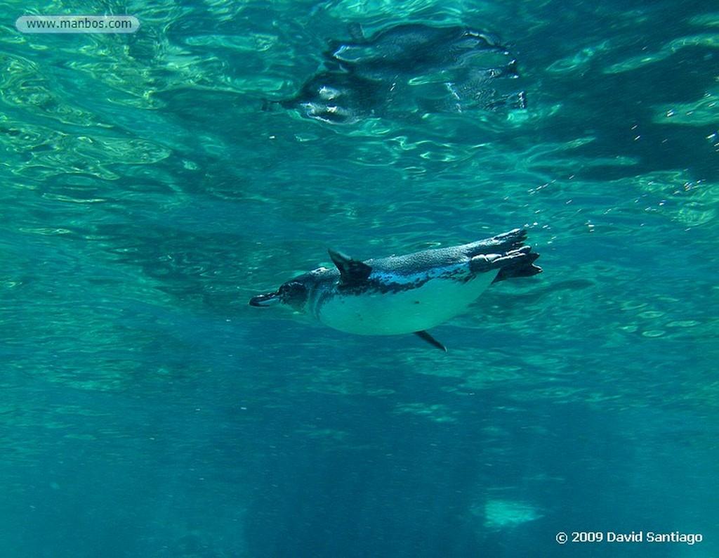 Islas Galapagos Pinguino de Galapagos Spheniscus mendiculus  Galápagos Islas Galapagos