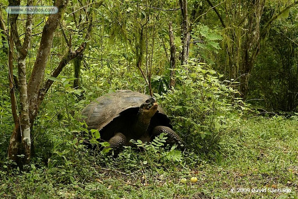 Islas Galapagos Pizon vegetariano Platyspiza crassirostris San Cristobal Galápagos Islas Galapagos