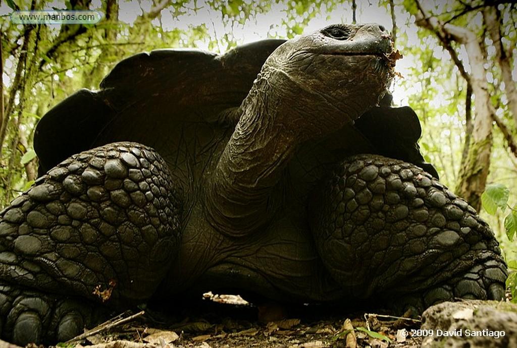 Islas Galapagos Tortuga gigante Geochelone elephantopus El Chato Santa Cruz Galápagos Islas Galapagos