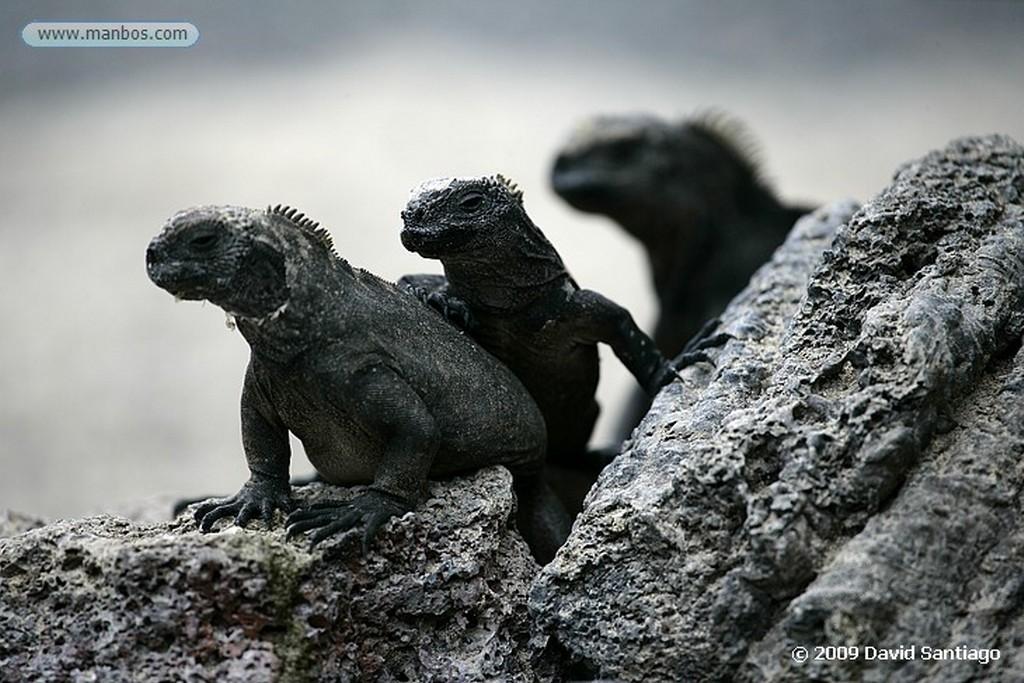 Islas Galapagos Iguana marina Amblyrynchus cristatus Isabela Galápagosgos Islas Galapagos