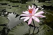 Foto de Borneo, Indonesia - Flor de loto en Bali