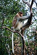 Foto de Borneo, Indonesia - Mono narigudo Nasalis larvatus Borneo