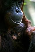 Borneo Orangutan Pongo pygmaeus Borneo<br>Foto: 17746
