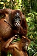 Borneo Orangutan Pongo pygmaeus Borneo<br>Foto: 17702