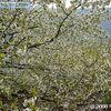 Florencen los Cerezos