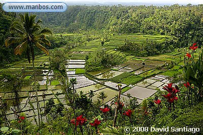 Arrozales en Rendong, Bali