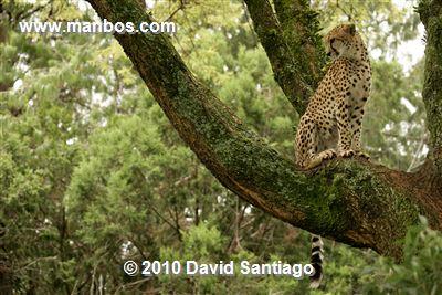 Leopardo - Kenia