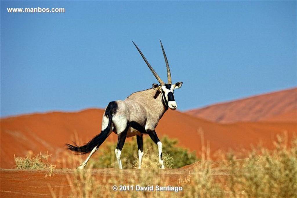 Namibia Namibia Antilope Oryx  oris Gazella  Namibia