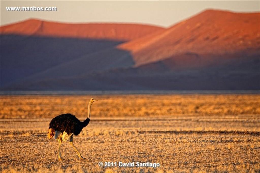 Namibia Namibia Avestruz Struthio Camelus  Namibia