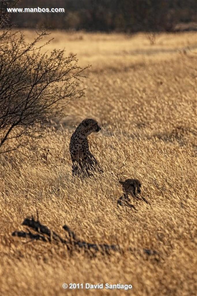 Namibia Namibia Guepardo  acinonyx Jubatu  Namibia