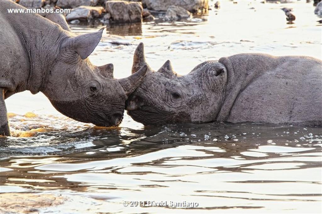 Namibia Namibia Rinoceronte Blanco  cerathotherium Simum  Namibia