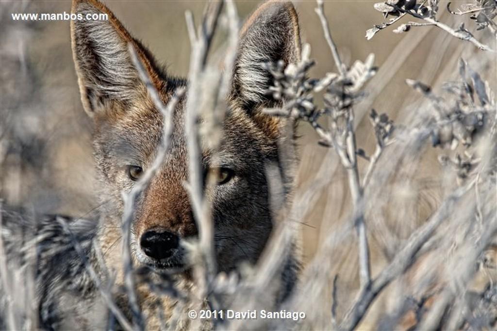 Namibia Namibia Chacal de Flancos Rayados  canis Adustus  Namibia