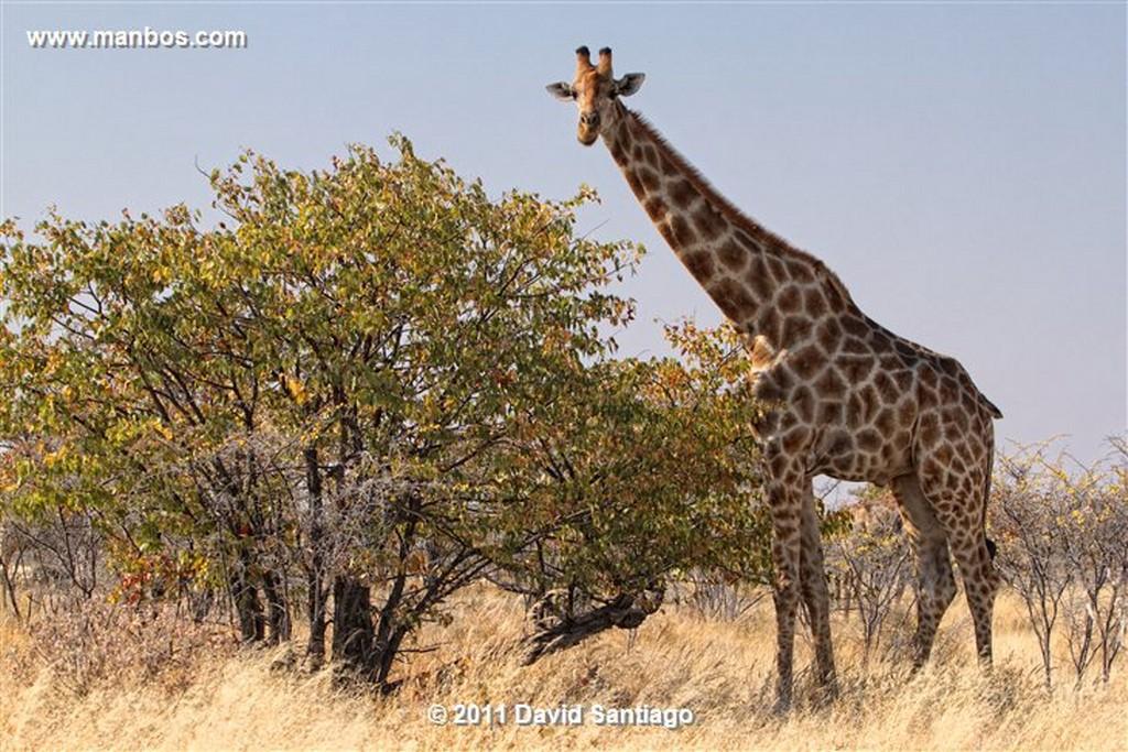 Namibia Namibia Jirafa  giraffa Camelopardalis  Namibia