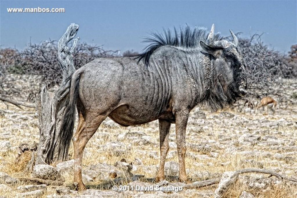 Namibia Namibia Cebra Equus Burchelli  Namibia
