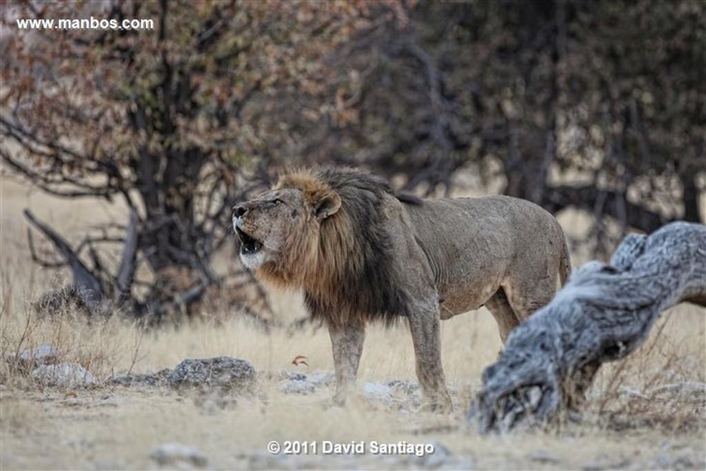 Namibia Namibia Leon  lion  panthera Leo  Namibia