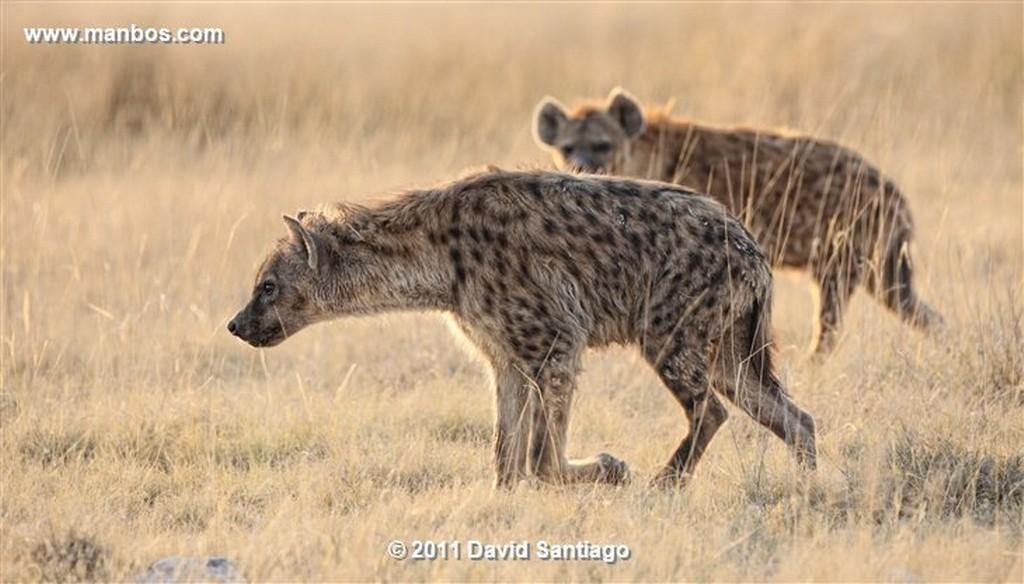 Namibia Namibia Antidorcas Marsupialis Gacela Saltarina  Namibia