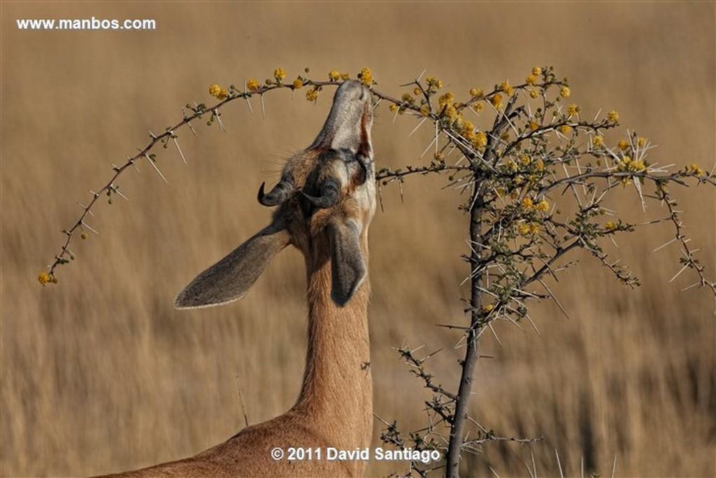 Namibia Namibia Melierax Canorus  Namibia