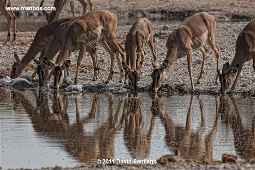 Namibia Namibia Impala  aepyceros Melampus  Namibia