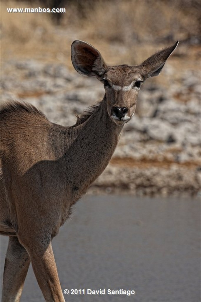 Namibia Namibia Gran Kudu Tragelaphus Strepsiceros  Namibia