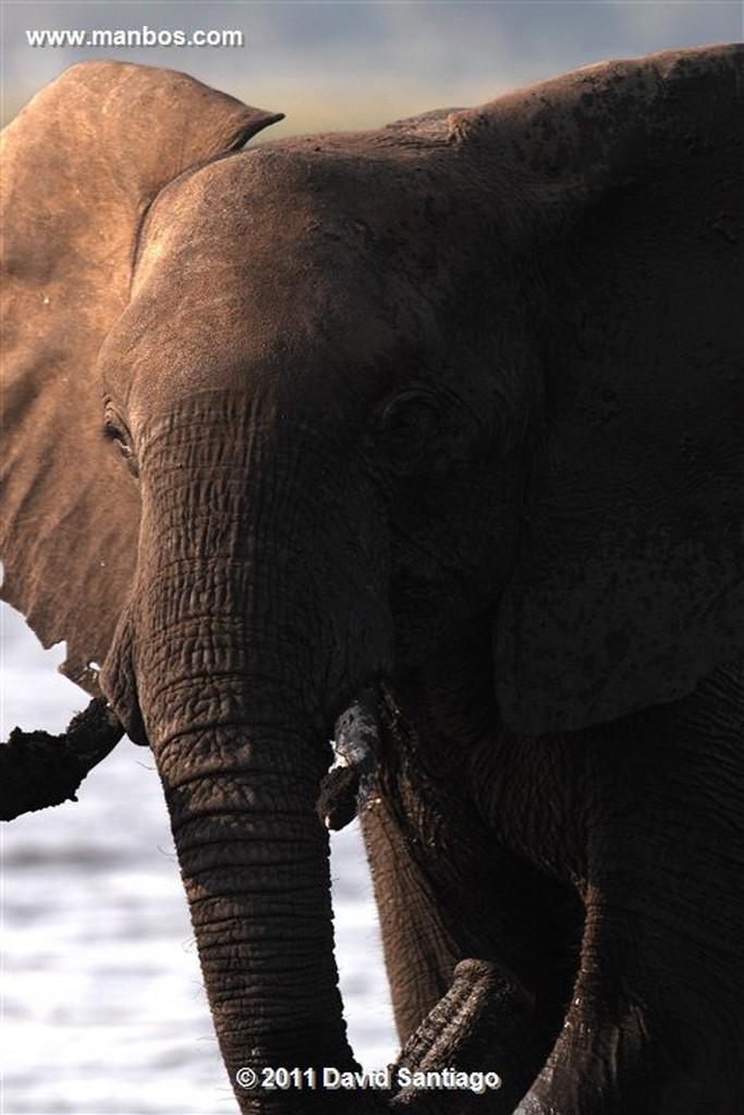 Botswana Botswana Facoquero Javali Verrugoso  phacochoerus Aethiopicus  Botswana