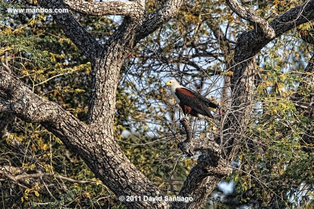 Botswana Botswana Lagarto  Botswana